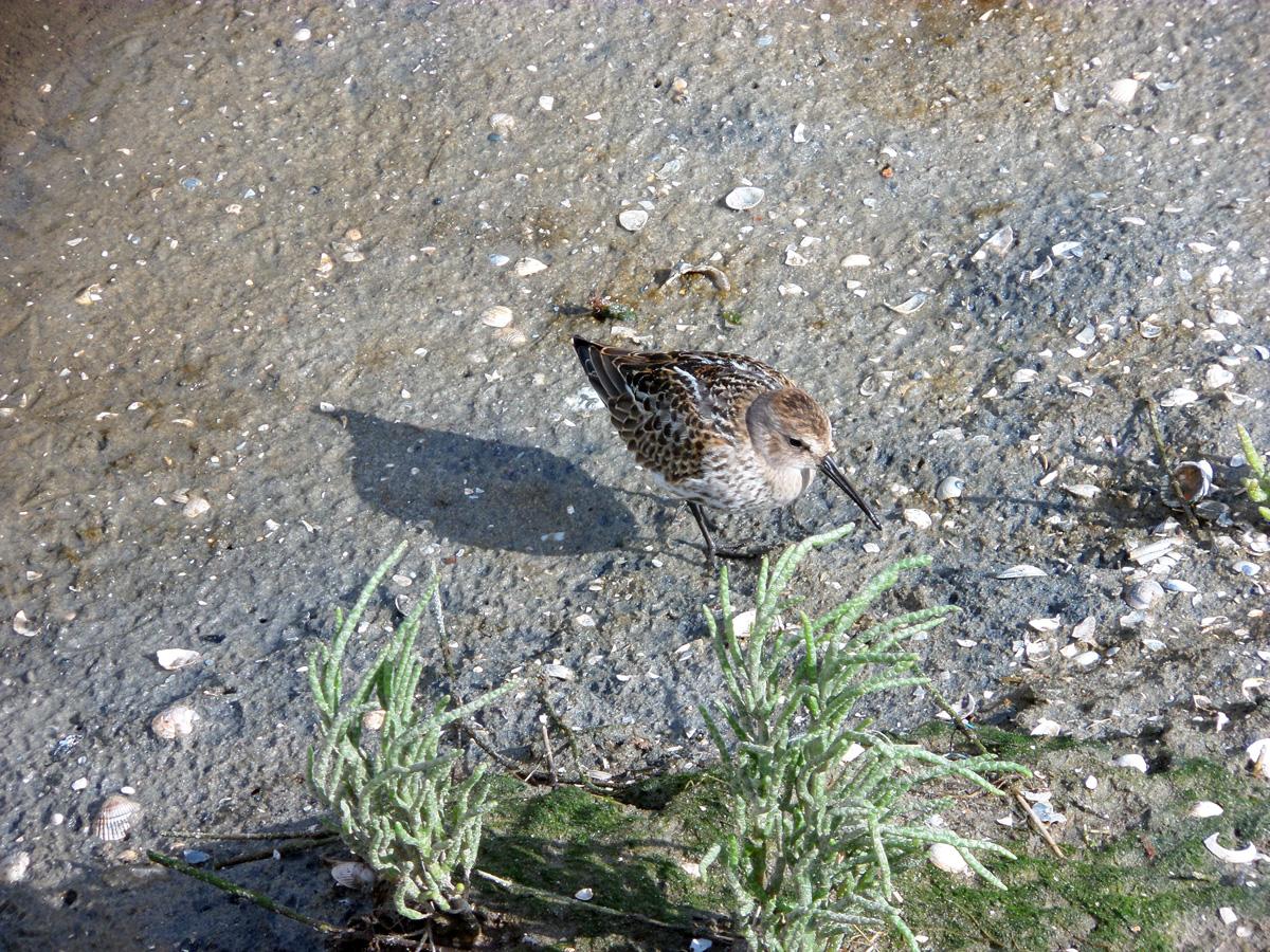 In den eingedeichten Feuchtgebieten auf Borkum fühlen sich auch Bachvögel wohl.