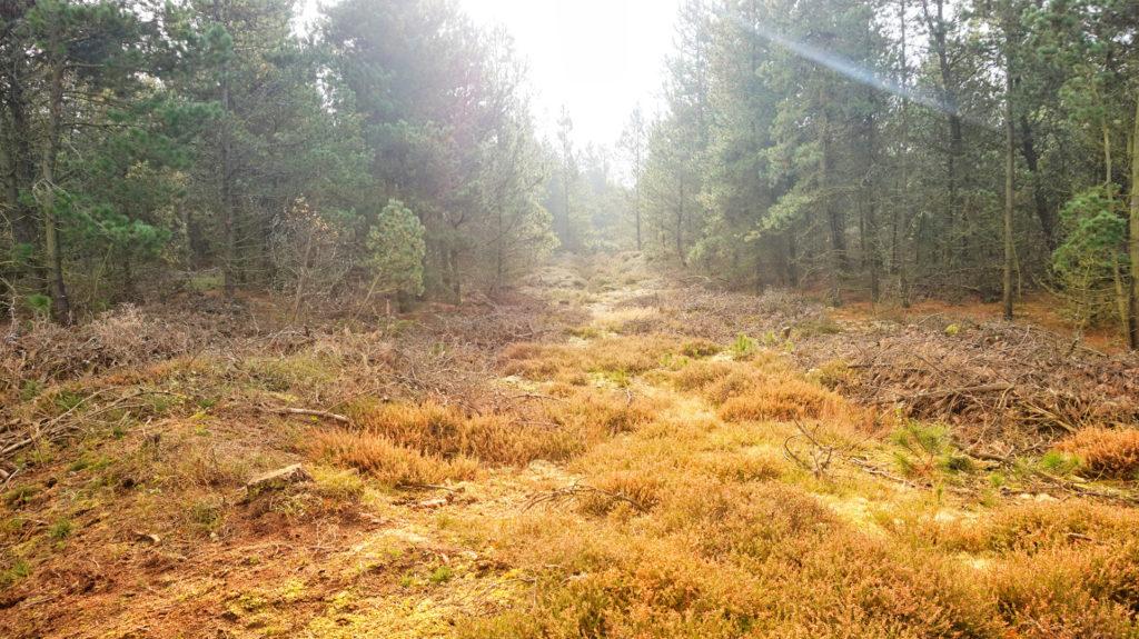 Lichtung im Wald von Fanø.