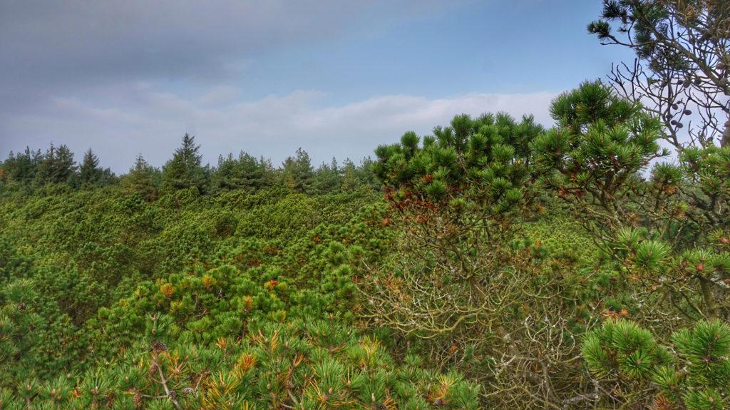 Grünes Blätterdach in der Fanø Plantage.