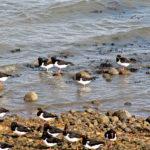 Austernfischer an der Wattseite von Amrum