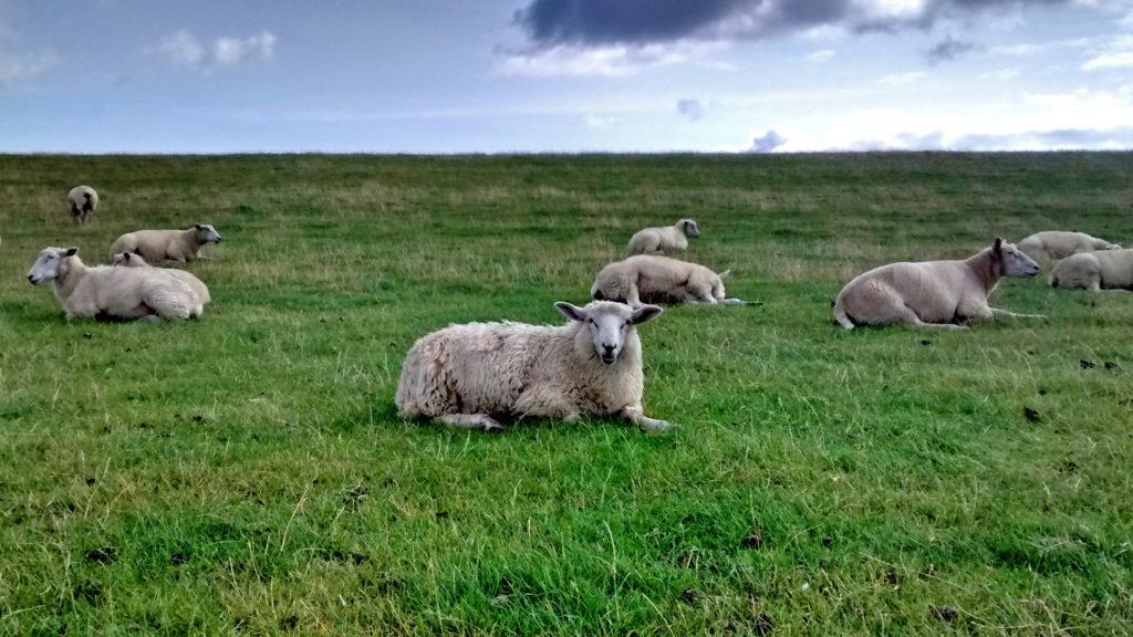 Schafe am Deich bei Westerheever