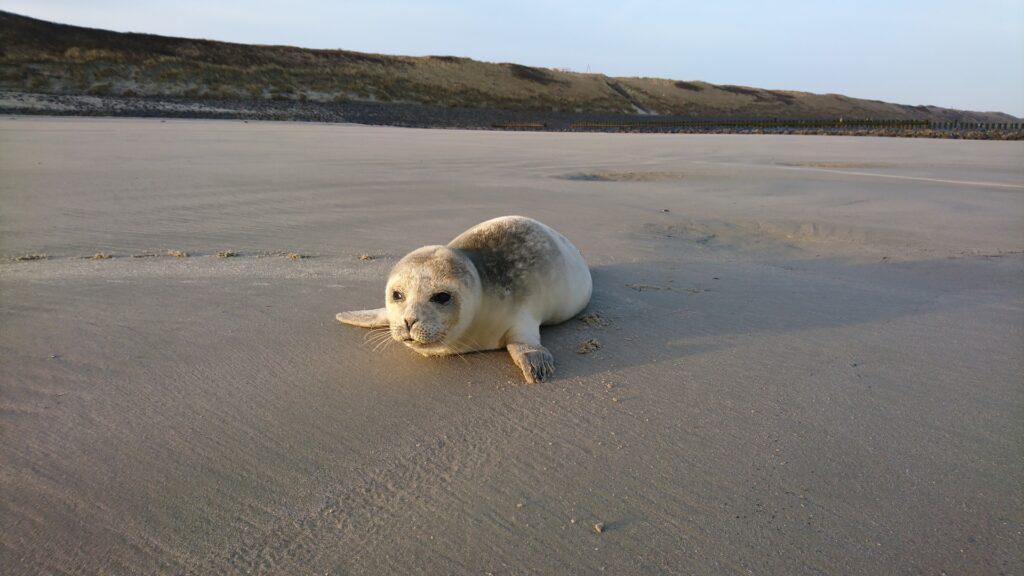 Im Früjahr werden häufig Heuler am Strand von Wangerooge gesichtet