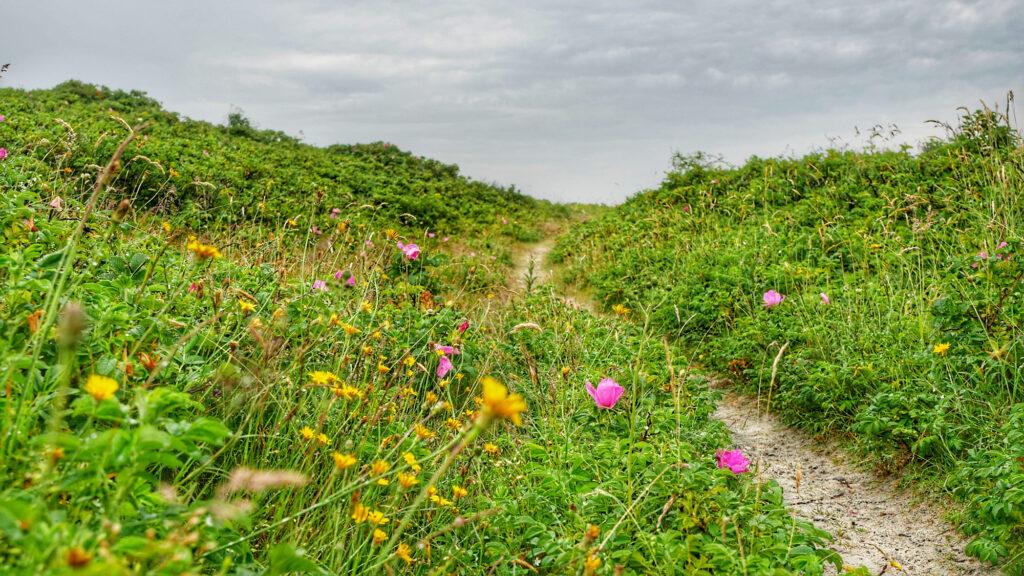 Blumenpfad in den Dünen im Osten von Wangerooge